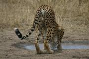 0078_Gepard_in_der_Massai_Mara