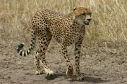 0079_Gepard_in_der_Massai_Mara