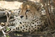 0080_Gepard_in_der_Massai_Mara