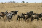 0081_Gnus_in_der_Massai_Mara