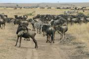 0082_Gnus_in_der_Massai_Mara